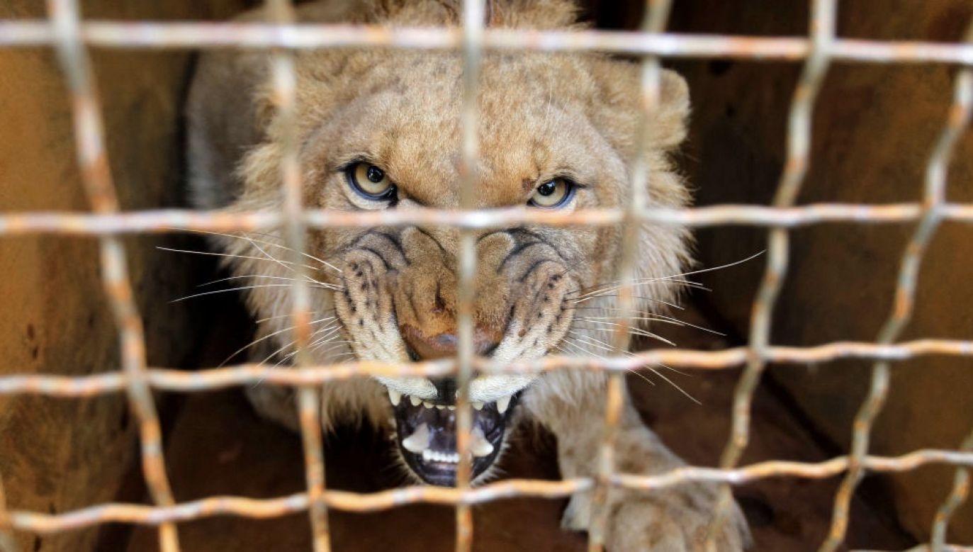 Chodzi między innymi o trzymanie zwierzęcia, które swoim zachowaniem stwarza niebezpieczeństwo dla człowieka (fot. Pavlo Gonchar / Echoes Wire / Barcroft Media via Getty Images)