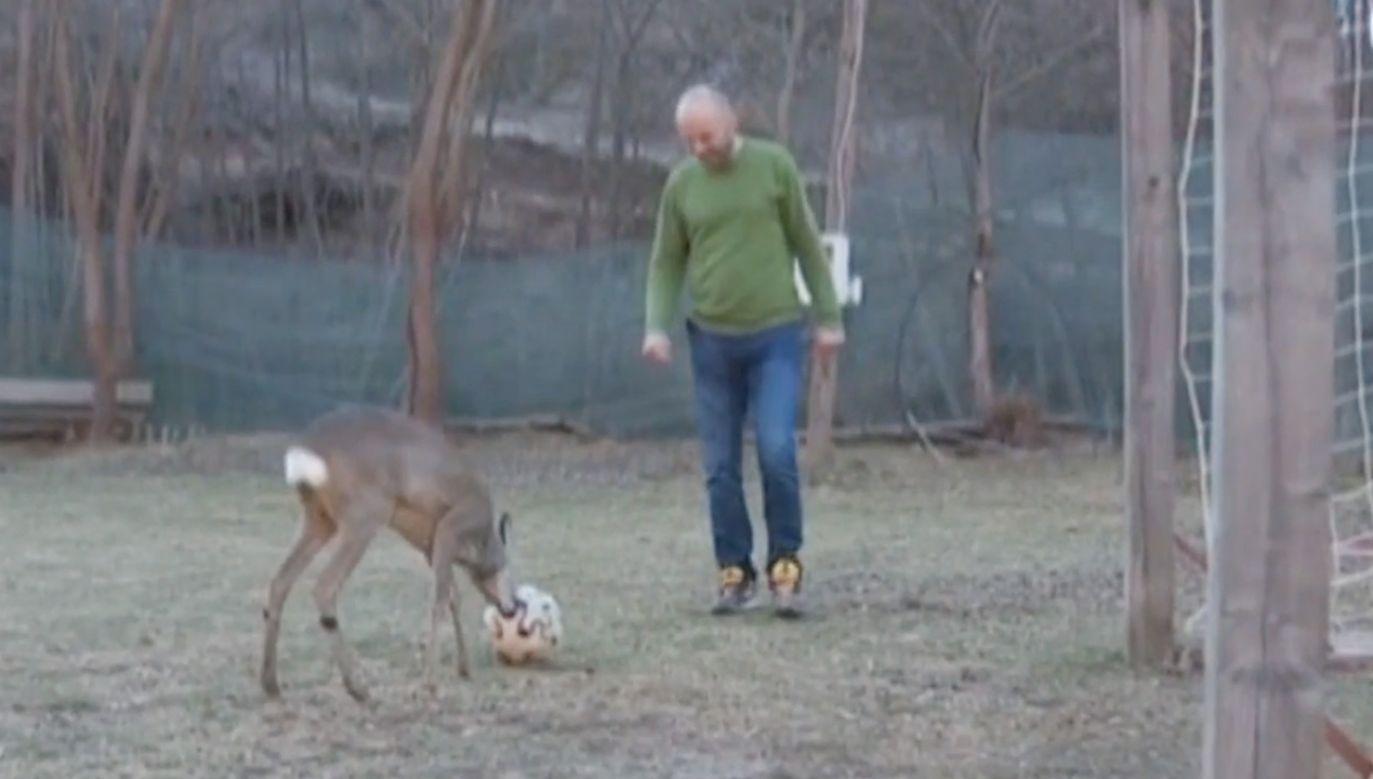 Młody jeleń gra w piłkę nożną (fot. EBU/BHRT)