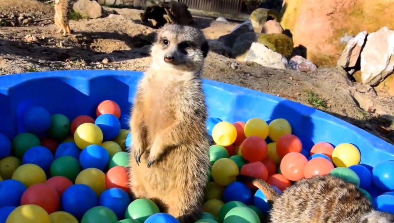 Niewielkie drapieżne ssaki bawią się najlepsze (fot. FB/ Zoo Poznań Official Site)
