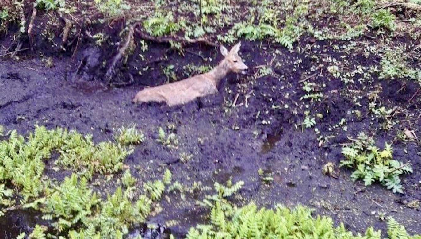 Według relacji rzeczniczki, leśnicy uratowali również jej przyszłe potomstwo (fot. RDLP w Szczecinie)
