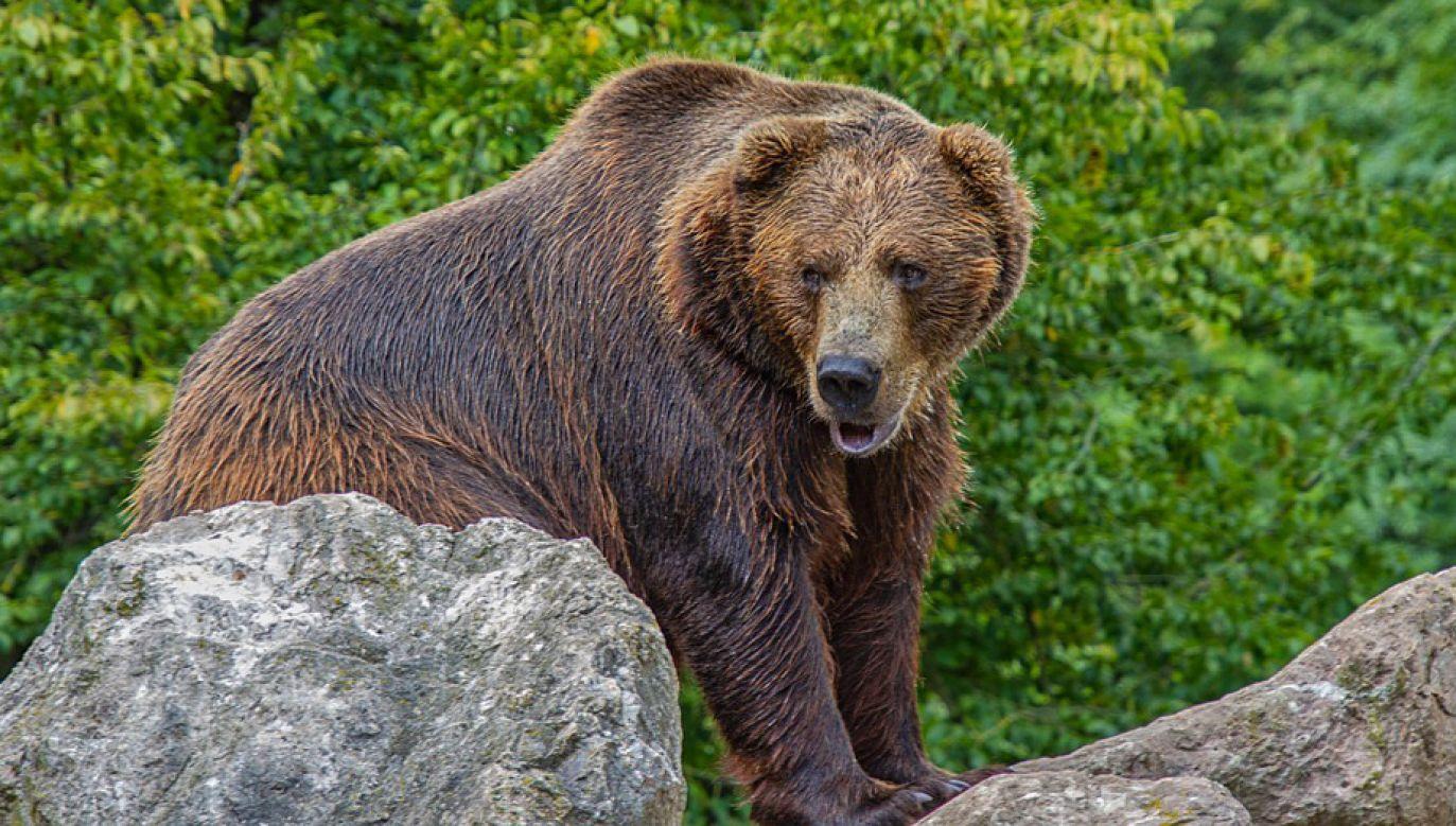 Dotychczas zarejestrowano 26 wniosków o pozwolenie na odstrzał niedźwiedzi w całej Słowacji (fot. piaxabay/NickyPe)