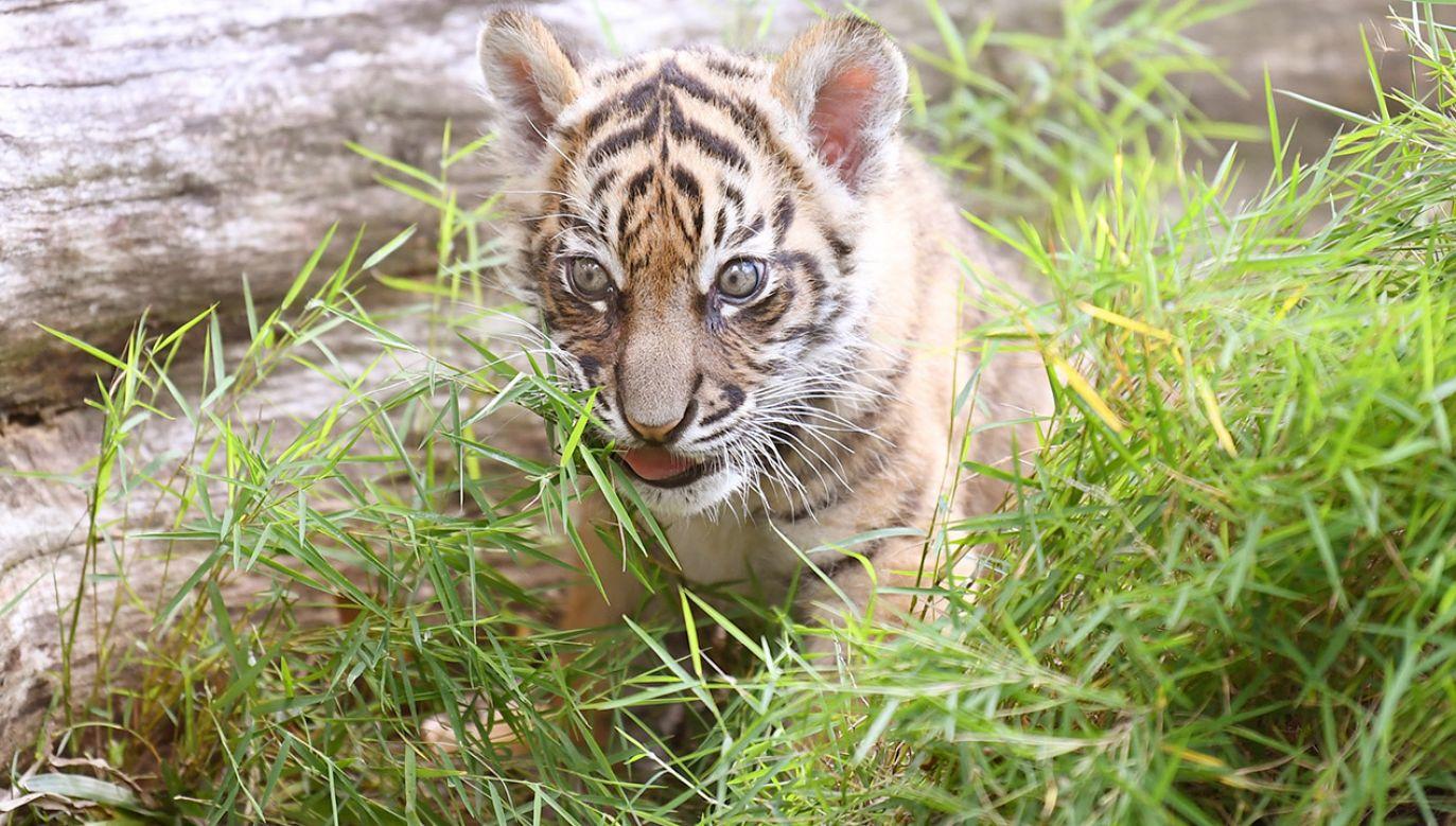 Światowy Dzień Tygrysa jest celebrowany w wielu miastach w Polsce (fot. PAP/EPA/DAN PELED)