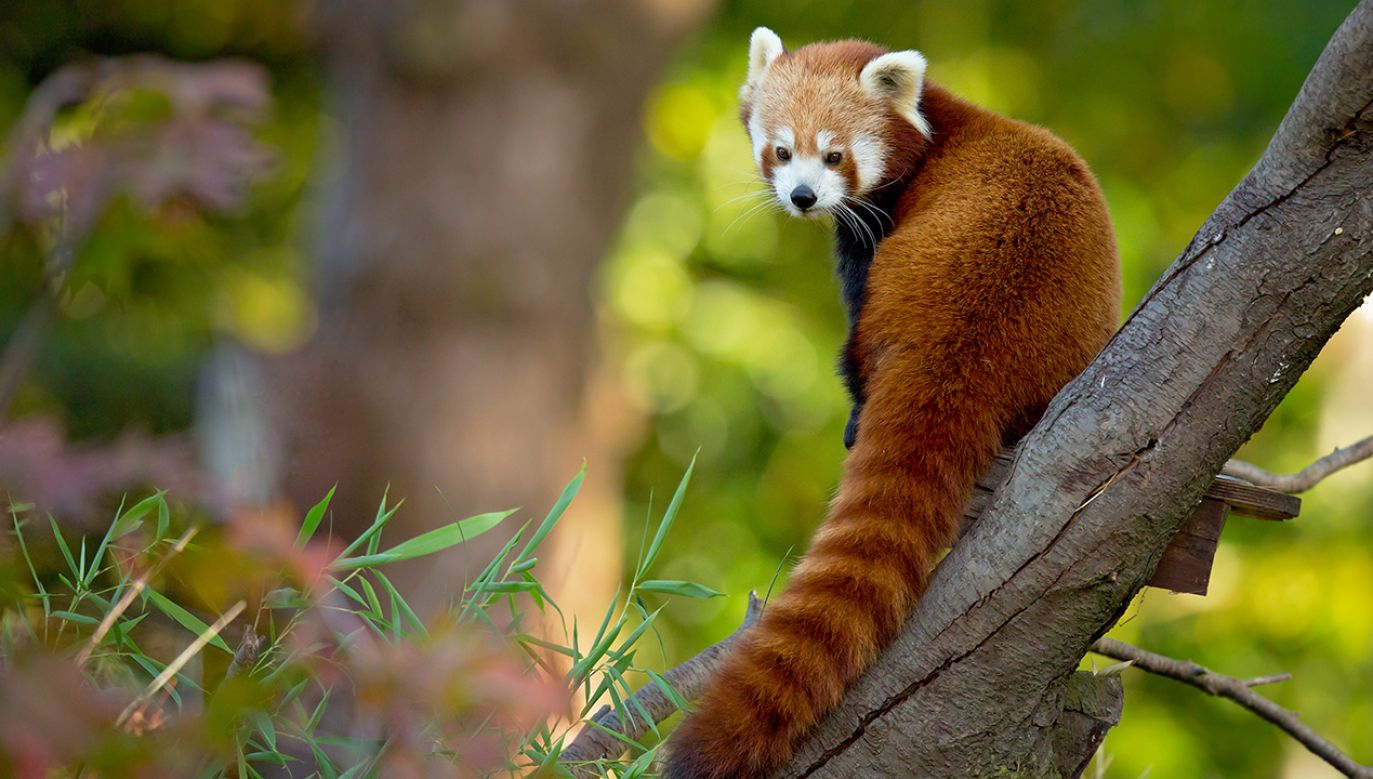 Coraz istotniejszy powód rosnącego zagrożenia dla pand, to kłusownictwo (fot.Shutterstock/Milan Zygmunt)