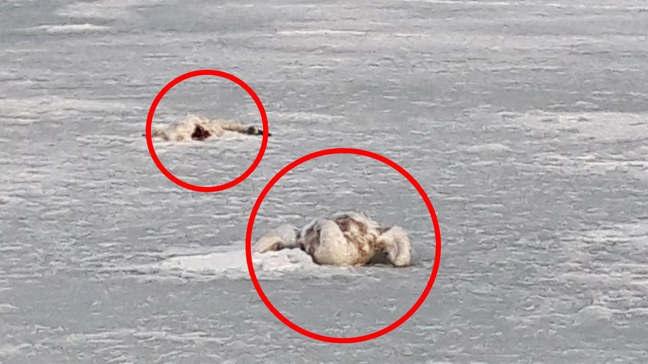 Ptaki przymarzły do tafli lodu (fot. Facebook/Straż Miejska we Władysławowie)