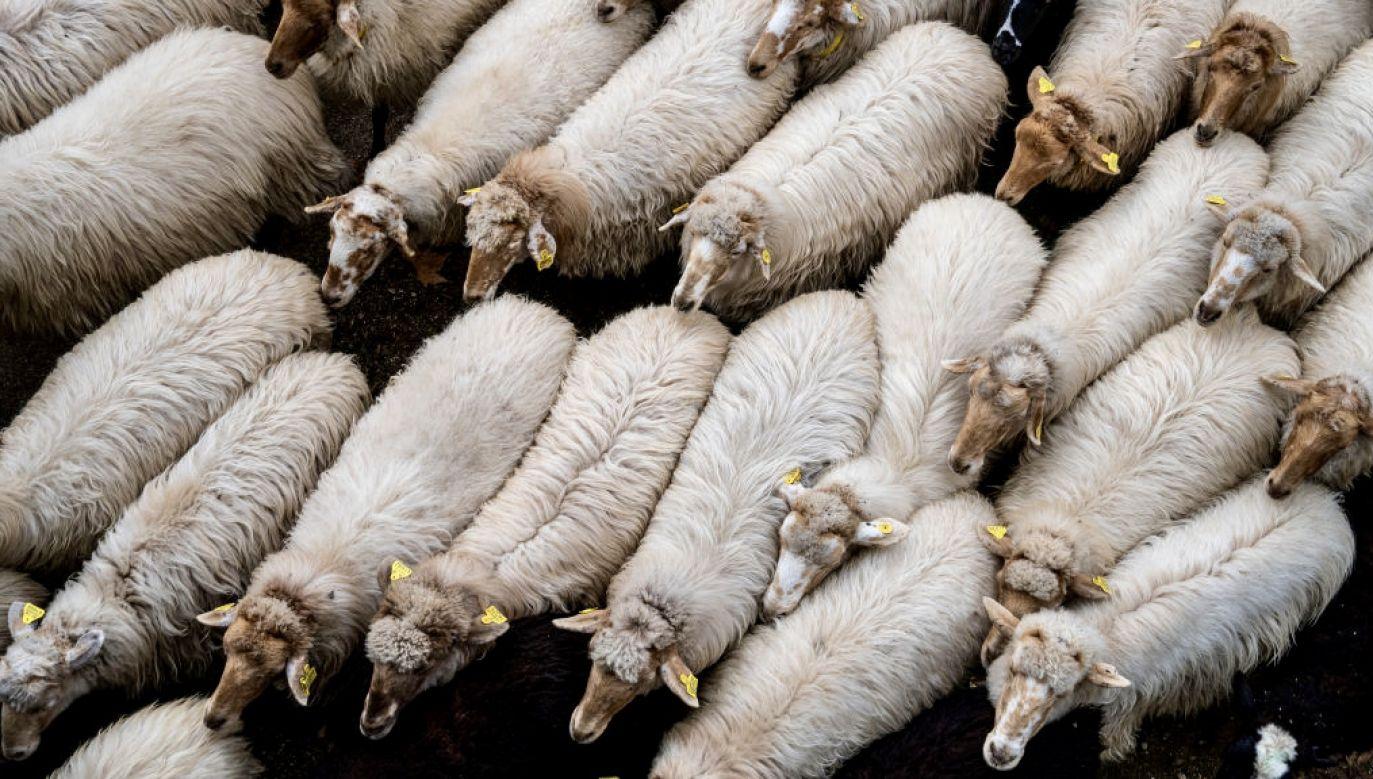 Ponad tysiąc owiec przeszło przez Saragossę (fot. M.del Mazo/LightRocket/Getty Images, zdjęcie ilustracyjne)