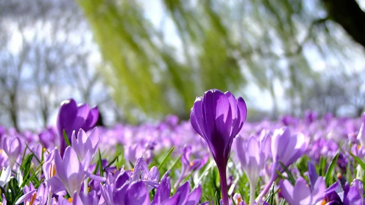 W wielu regionach kwitną już krokusy (fot. Pixabay)