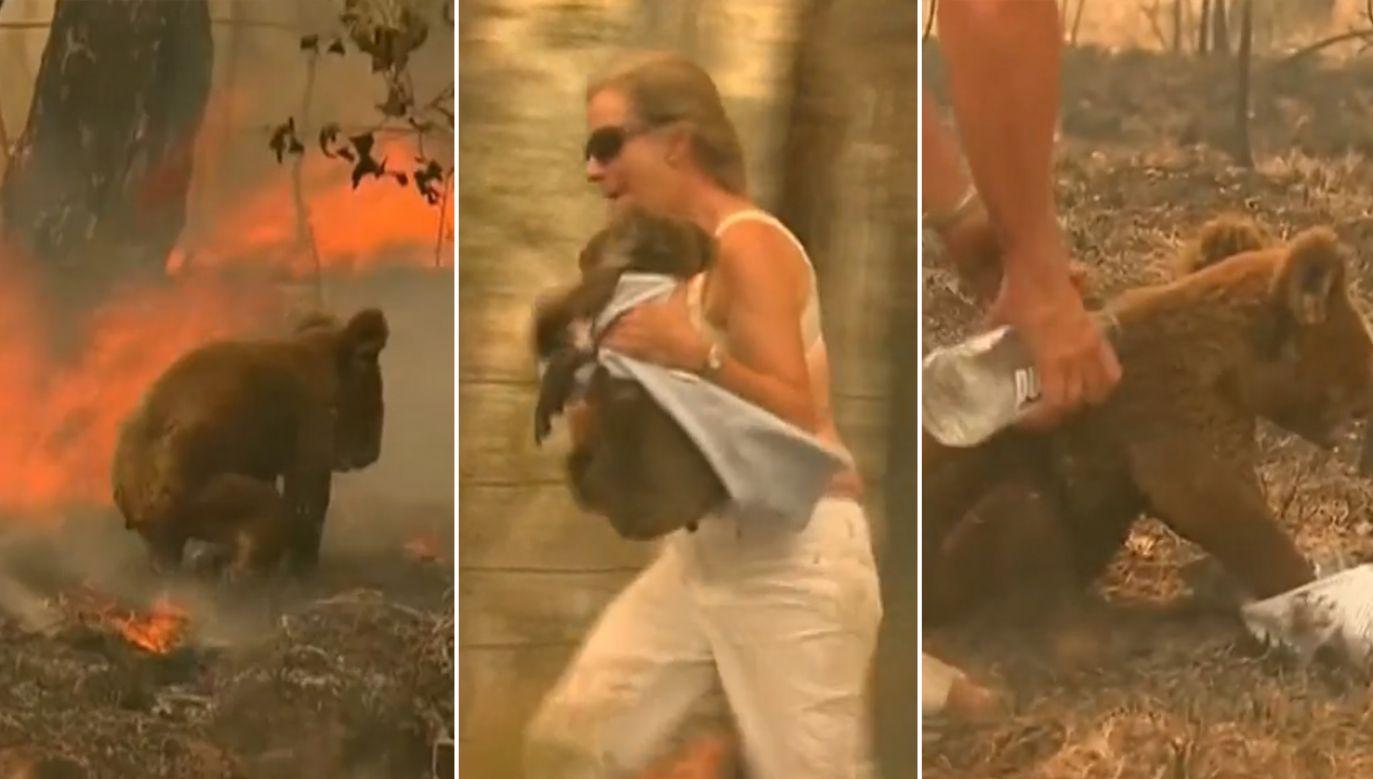 Internet obiegło nagranie, na którym widać, kobieta ratuje koalę przed ogniem w australijskim buszu (fot. YouTube/TheSun)