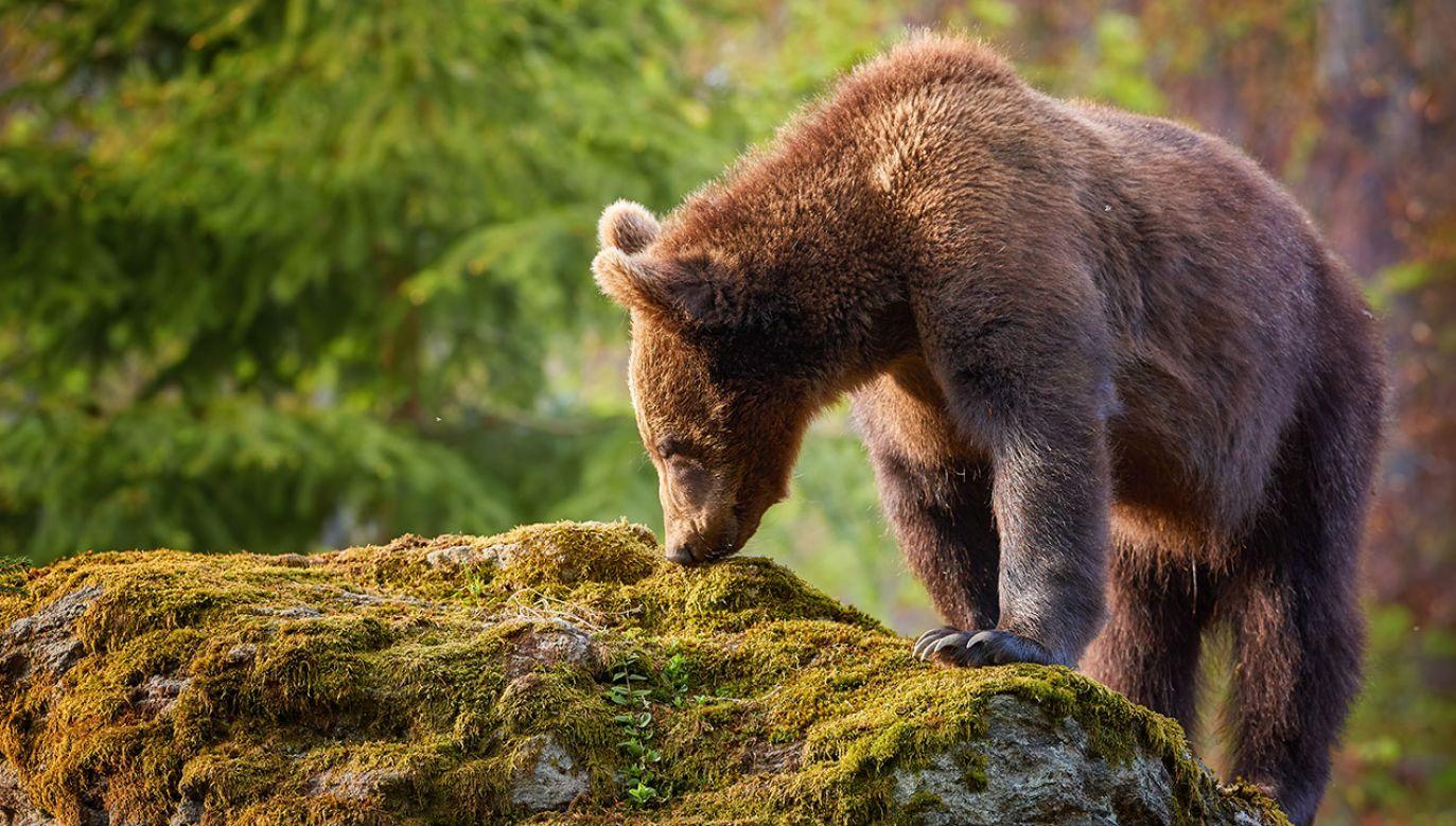 Jak zachować się w razie spotkania niedźwiedzia? (fot. Shutterstock/Martin Mecnarowski)