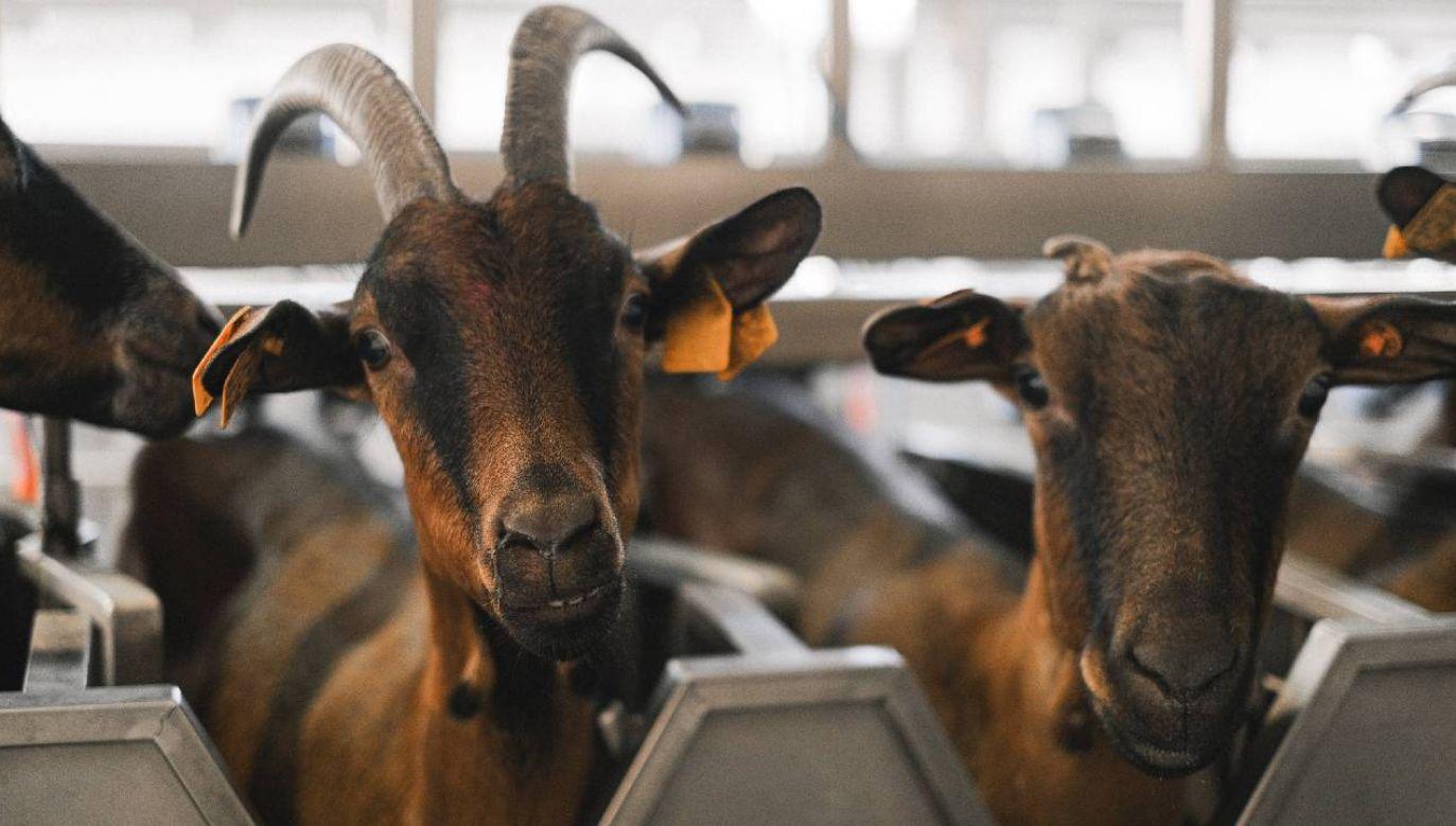 Produkcja mleka koziego w Polsce to około 8 mln litrów rocznie (fot. Pexels)