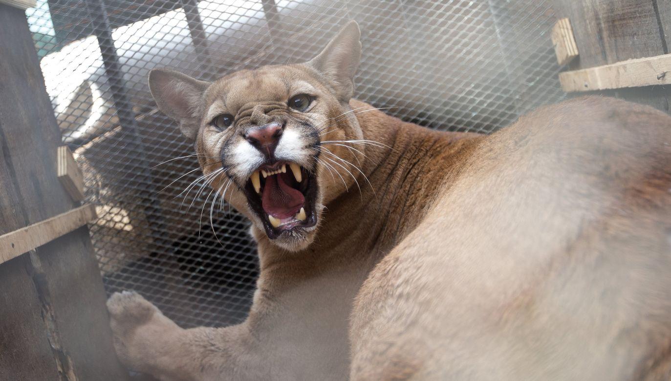 Miesiąc temu po Czechach miała grasować amerykańska puma (fot. arch. PAP/EPA/Joedson Alves)