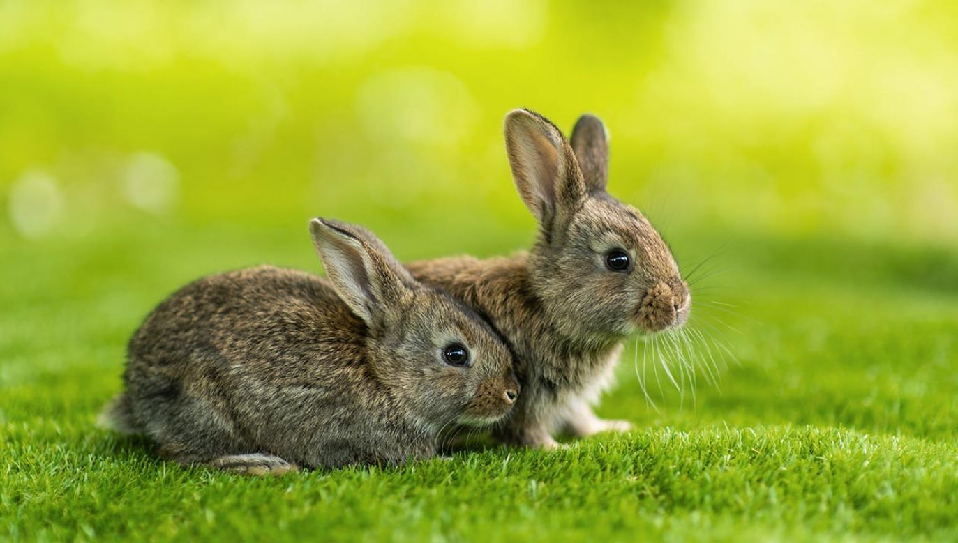Wyspa Skokholm przez 200 lat była famą królików (fot. Shutterstock/The Len)