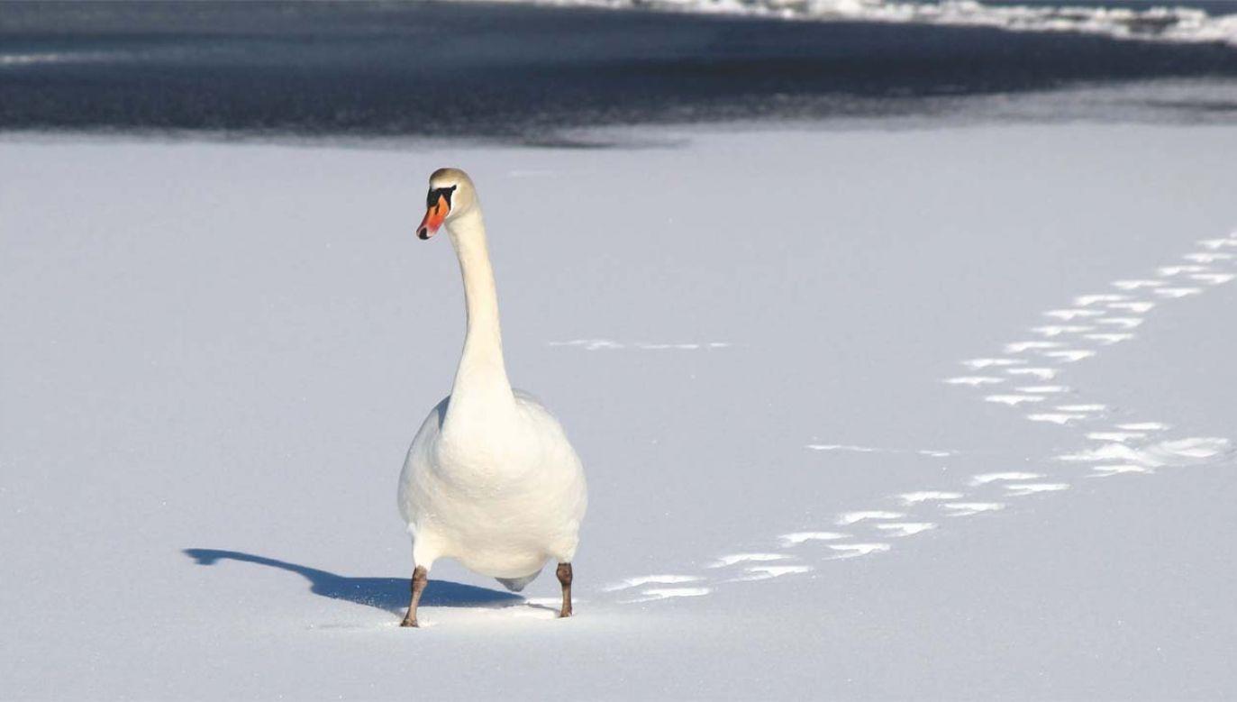 Wiele ptaków, zostając na jeziorach, wpadło w lodową pułapkę (fot. Pexels)