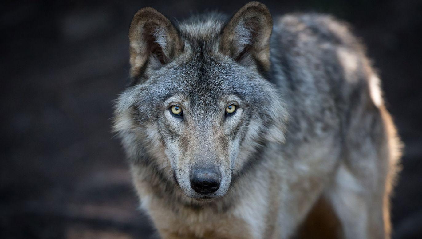 Obywatelowi Holandii przedstawiono już zarzut zabicia zwierzęcia pozostającego pod ścisłą ochroną (fot. Shutterstock/Pat Lauzon, zdjęcie ilustracyjne)