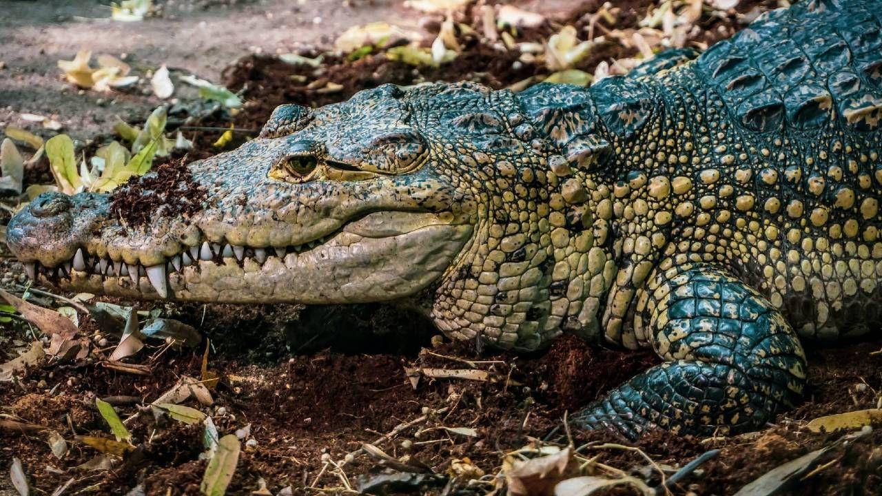 Niemal 2,5-metrowy aligator został schwytany (fot. Pexels)
