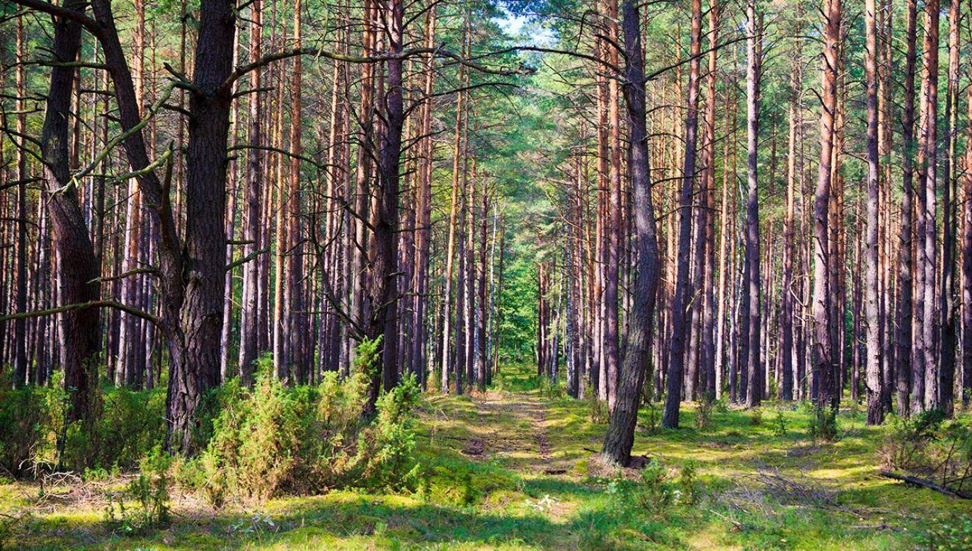 Kangur skrywał się w lasach (fot. Shutterstock/seawhisper)