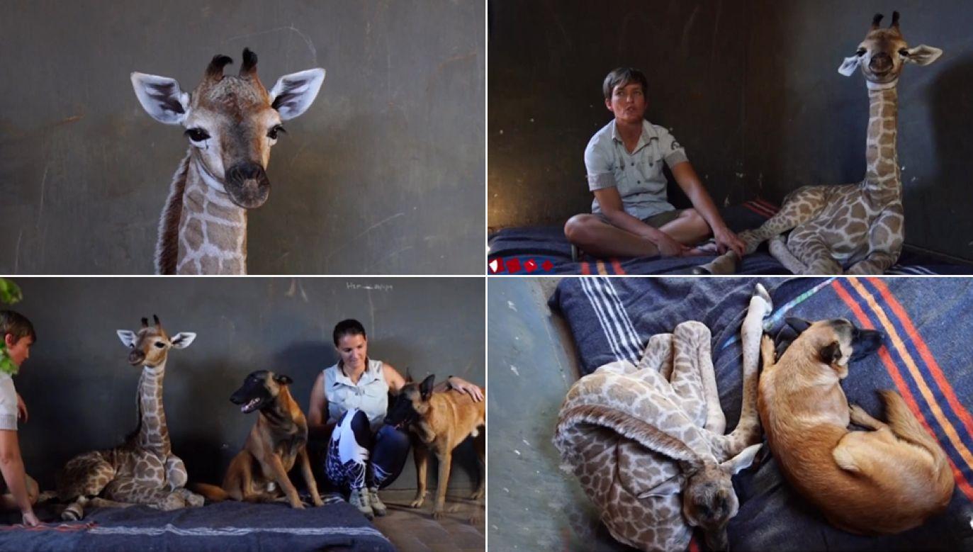 Maleńka żyrafa dochodzi do zdrowia (fot. tvp.info)