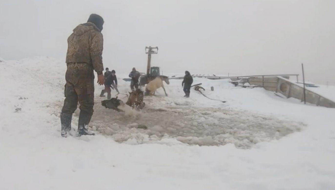 Kilka koni było w stanie wspiąć się na lód i ze stawu (fot. EBU)