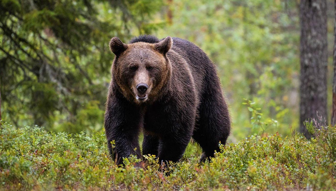 Świeże tropy i ślady niedźwiedzi ciągle widywane są np. w młodnikach, czy w zdziczałych, starych sadach (fot. Shutterstock/Michele Aldeghi)