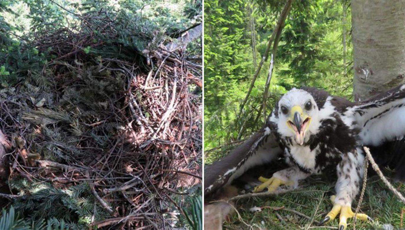 Gniazdo ucierpiało podczas wichury (fot. Twitter/Lasy Państwowe/M.Stój)