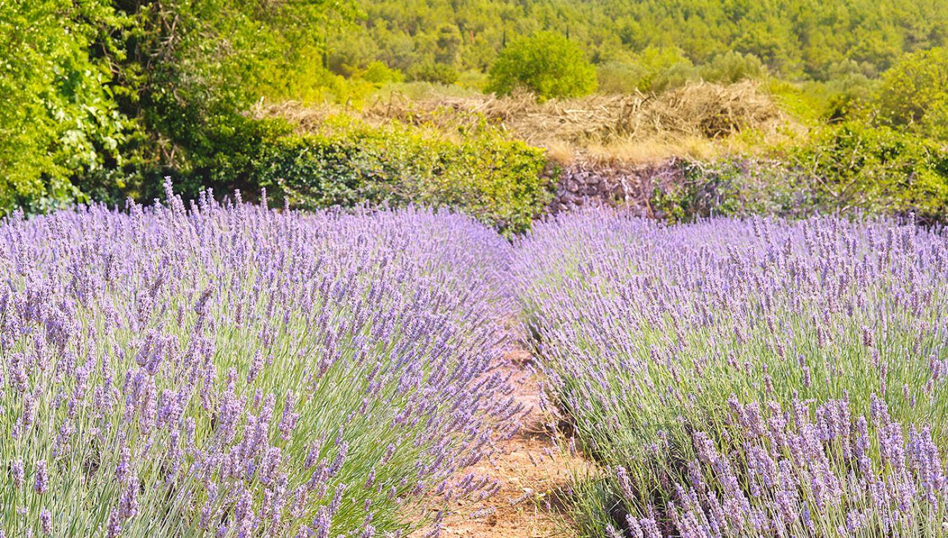 Lawendowe pola to widok bardzo częsty (fot. Shutterstock)