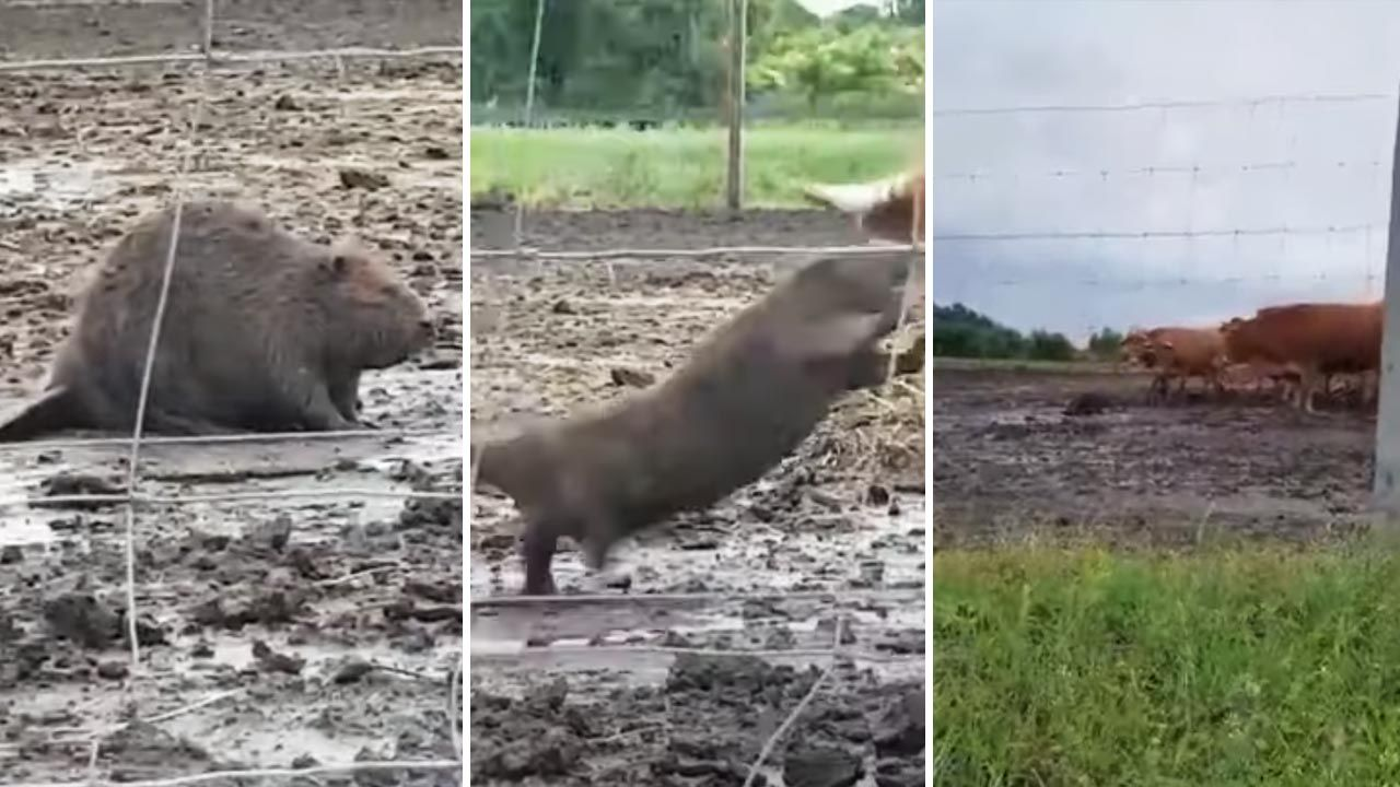 Zwierzę już poskromiono (fot.  YouTube/KP TomaszówLubelski)