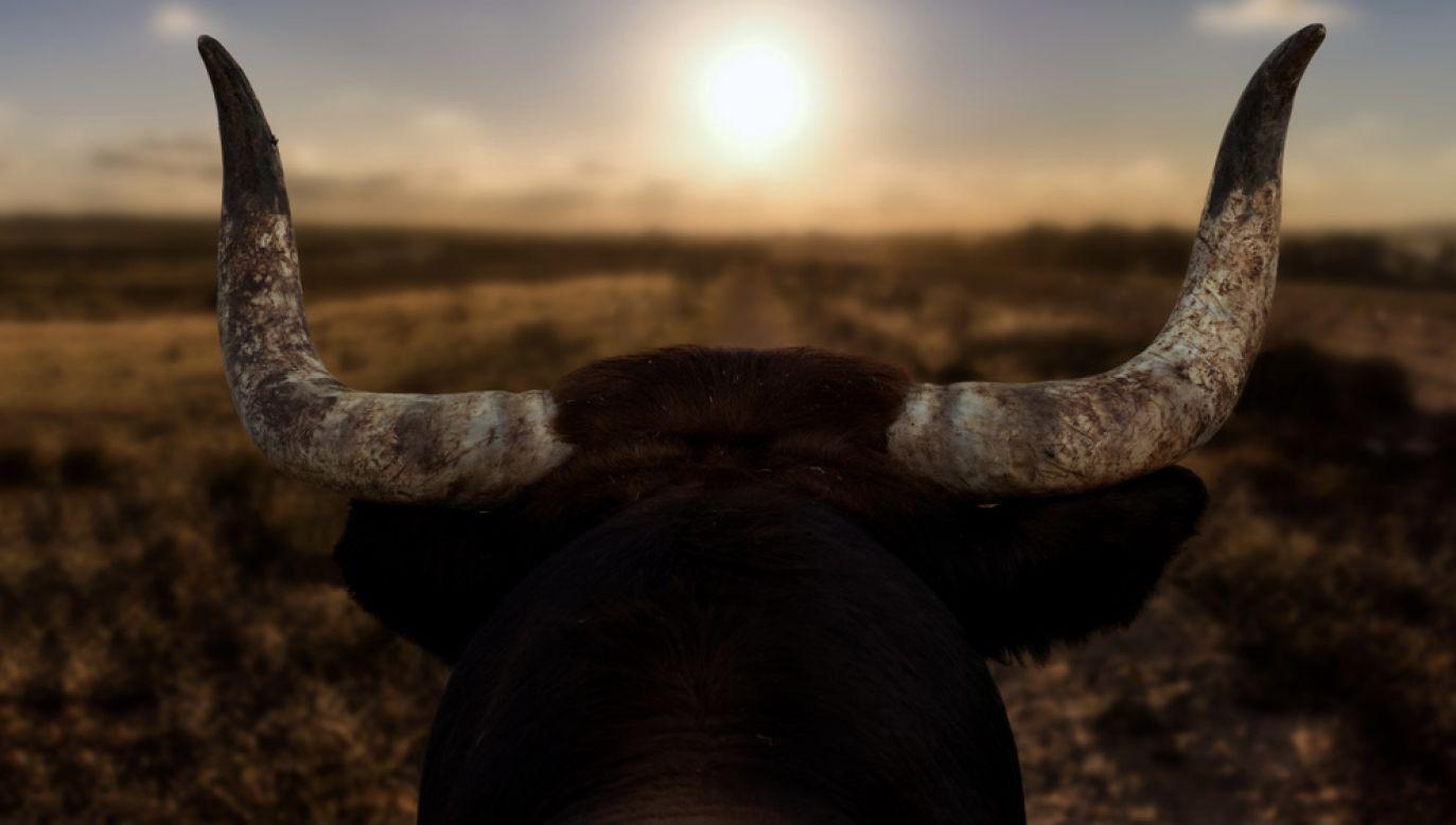 Byk został odstrzelony przez leśniczego (fot. Shutterstock/wewi-photography)