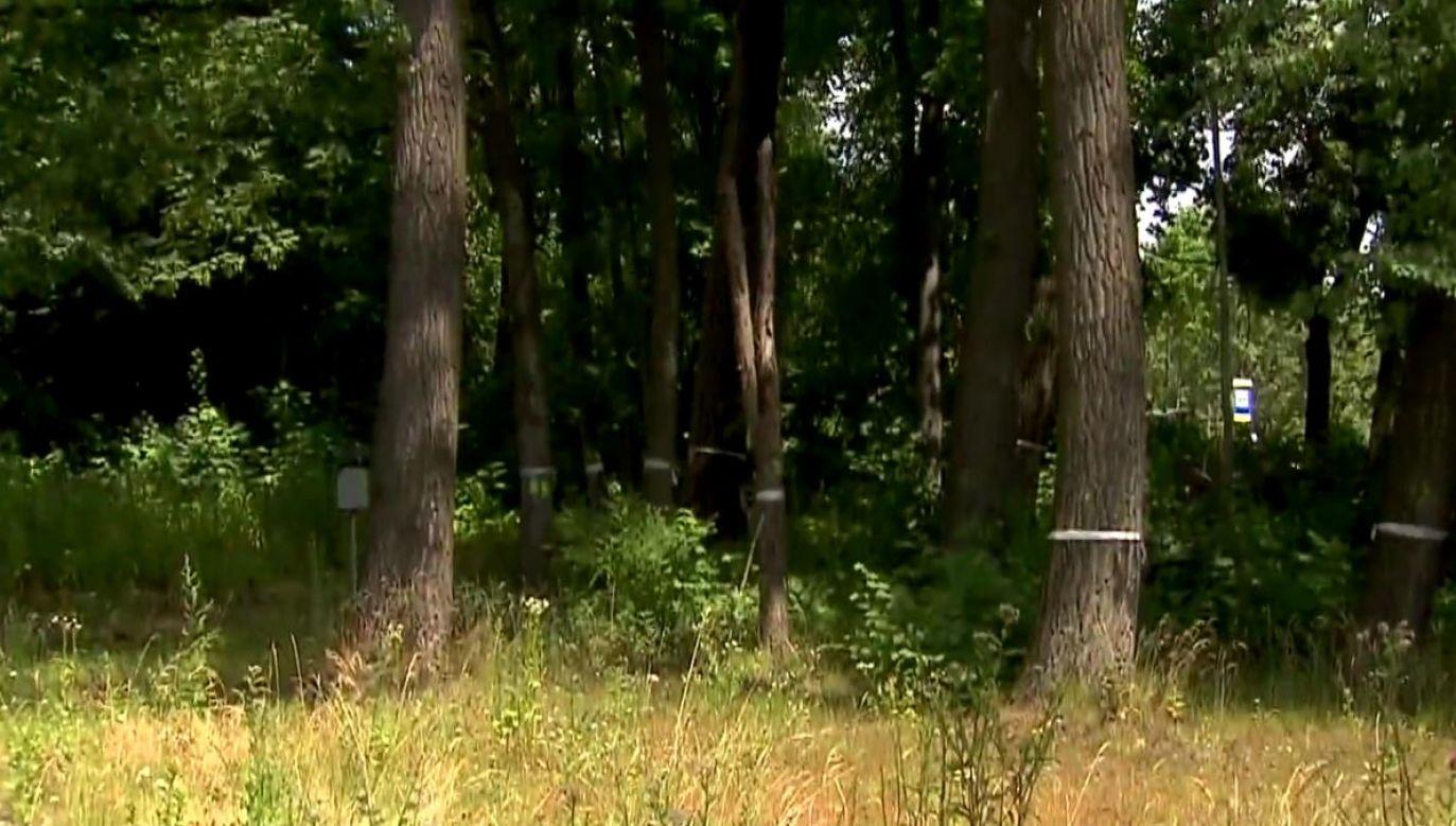 Prezydent Chorzowa podpisał zgodę na wycinkę ponad 1,3 tys. drzew (fot. portal tvp.info)
