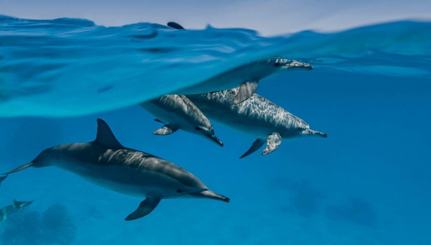 Delfiny pływały w bioluminescencyjnych falach przy Newport Beach w USA (fot. Alexis Rosenfeld/Getty Images)