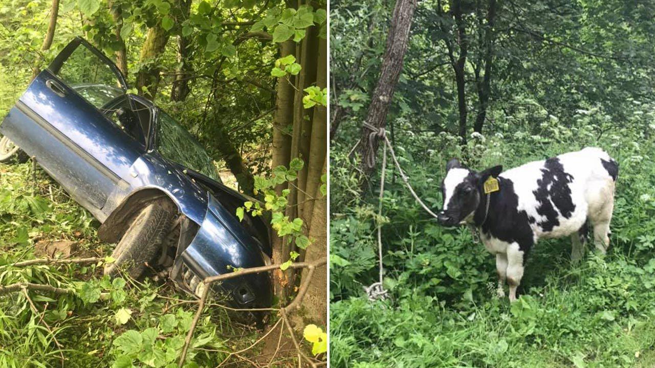 Krowę zabrano do lekarza, kierowcę i pasażera – do szpitala (fot. Facebook/OSP Łabowa)