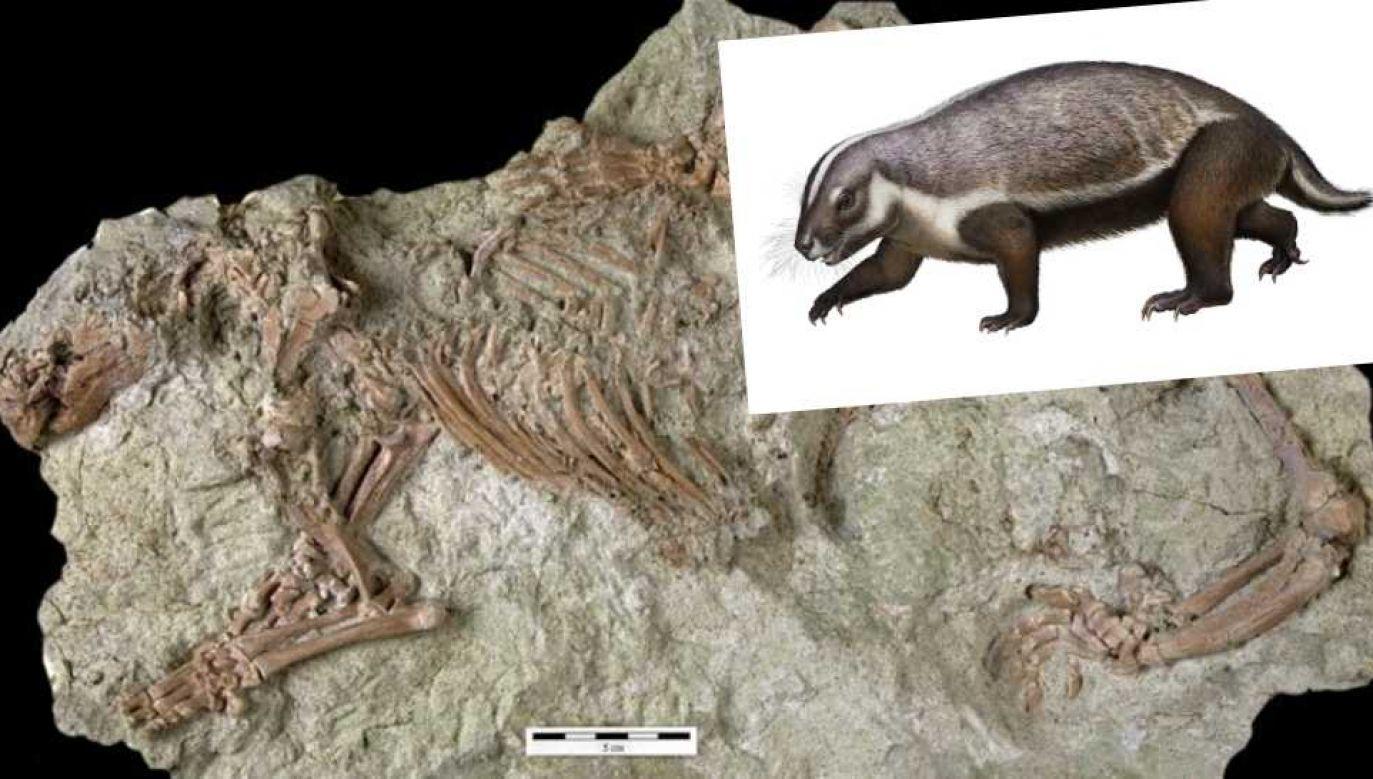 Ssak żył u schyłku ery dinozaurów (fot. Denver Museum of Nature & Science)