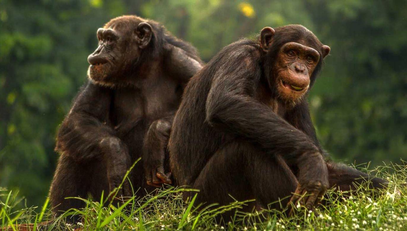Zdaniem ekspertów szympansy nie zakaziły się od ludzi  (fot. Pixabay/sasint)