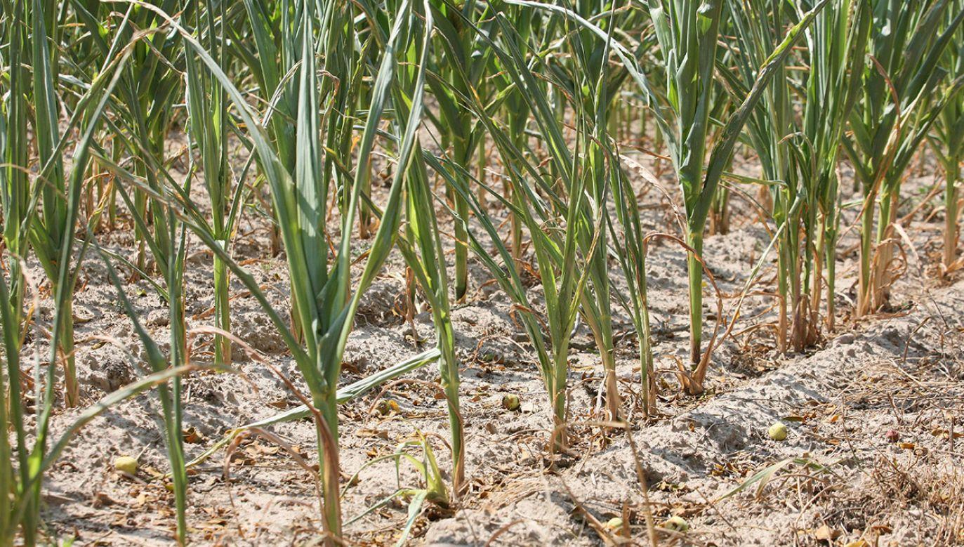 Do 15 listopada 2019 r. przedłużono termin składania wniosków o  pomoc suszową dla rolników (fot. arch.PAP/Lech Muszyński)