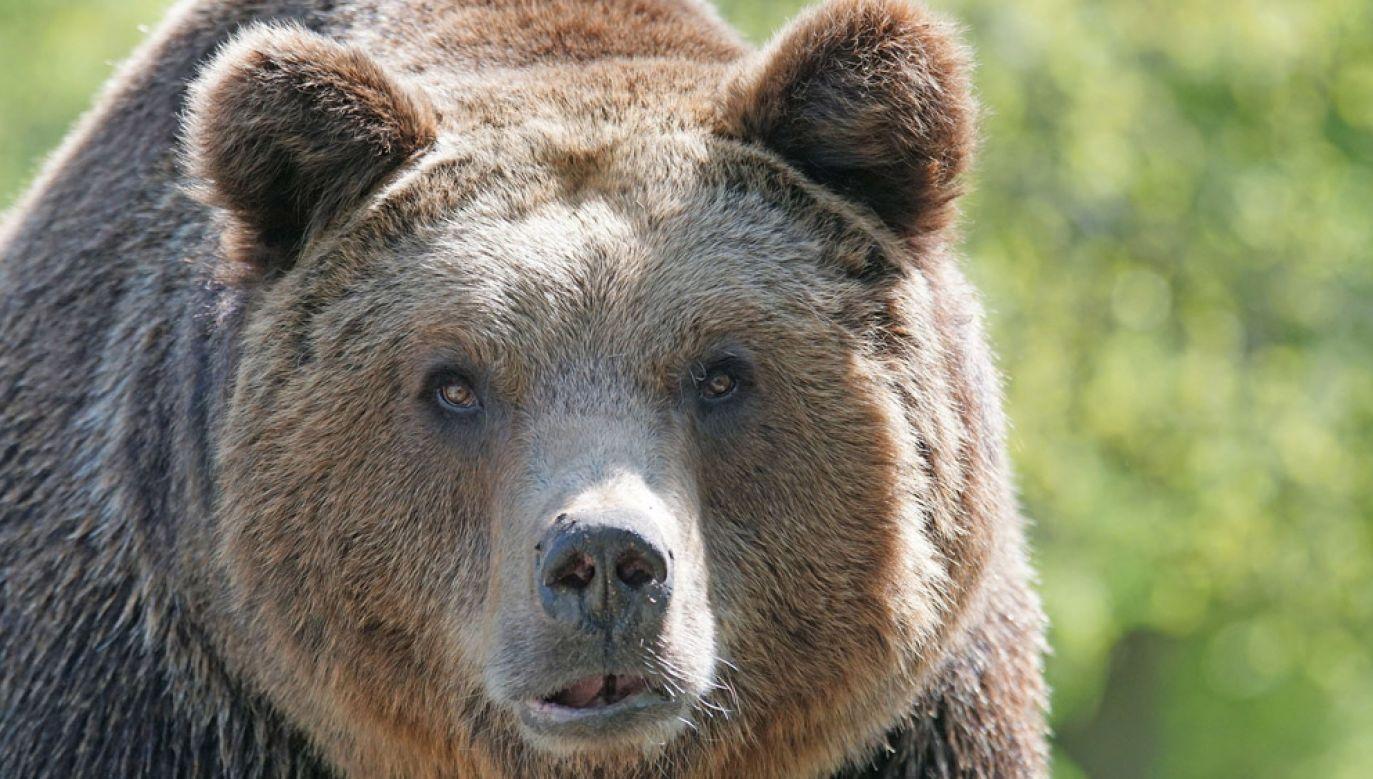Niedźwiedź zaatakował Polaków na wysokości 3500 m (fot. Pixel-mixer/pixabay)