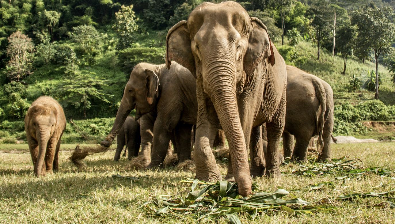 Słonie wyruszyły w drogę z parku narodowego w górzystej, południowej części prowincji Junnan (fot. Shutterstock/ Oriol Querol)