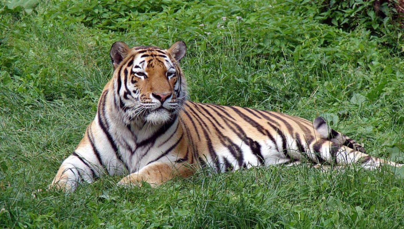 Trwa wyjaśnianie dlaczego pracownica zoo znajdowała się na wybiegu w tym samym czasie co drapieżnik(fot. Wikimedia Commons/Chrumps)