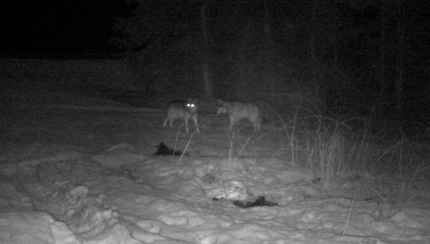 Wilki były bardzo blisko (fot. TVP3 Kraków)