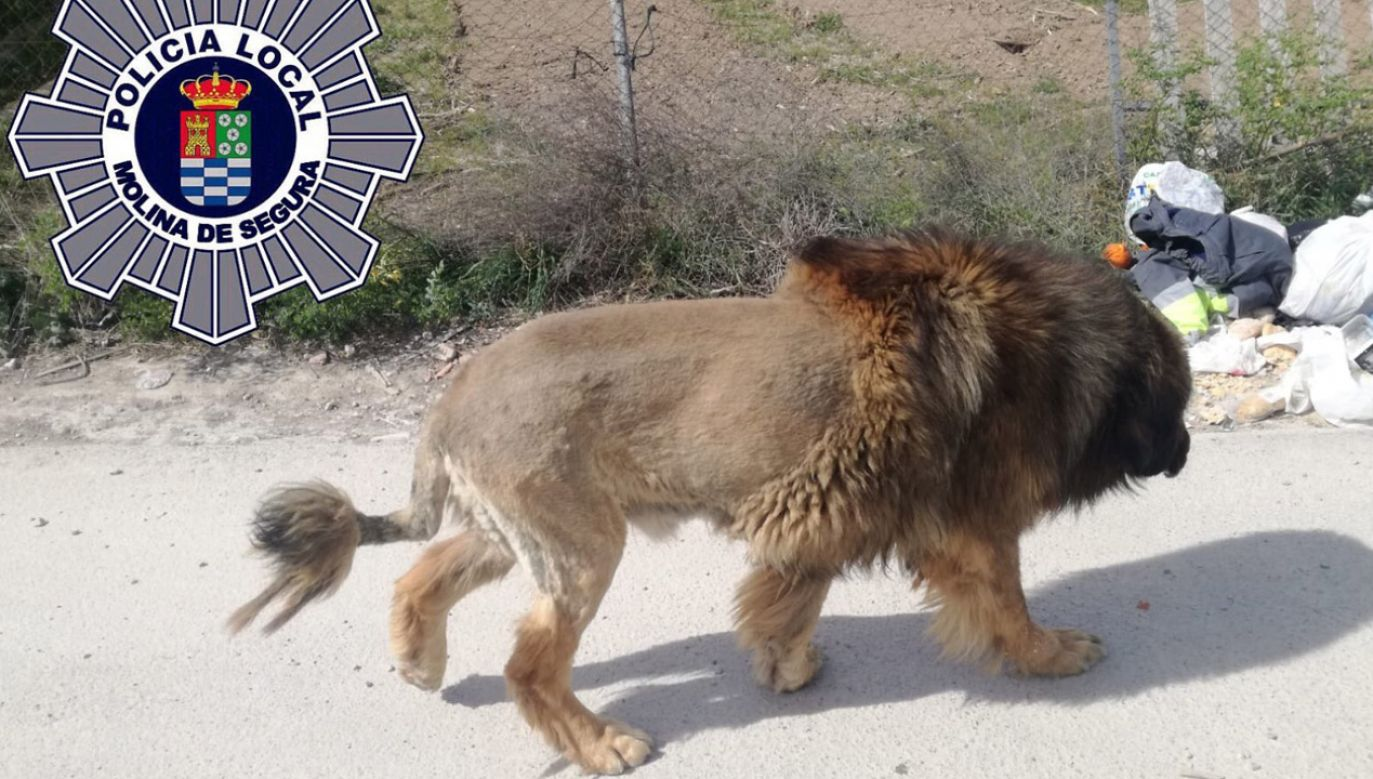 """Poszukiwania """"niebezpiecznego zwierzęcia"""" trwały kilka godzin (fot. Policia Local Molina de Segura)"""