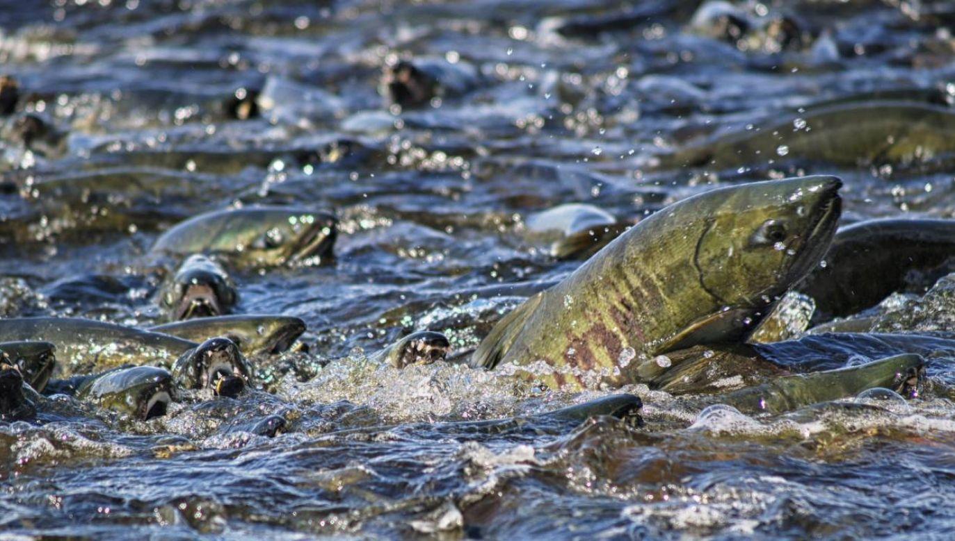 Problem stanie się poważny za kilka lat, kiedy nie będzie naturalnego tarła łososi (fot. Wiki 4.0/Gillfoto)
