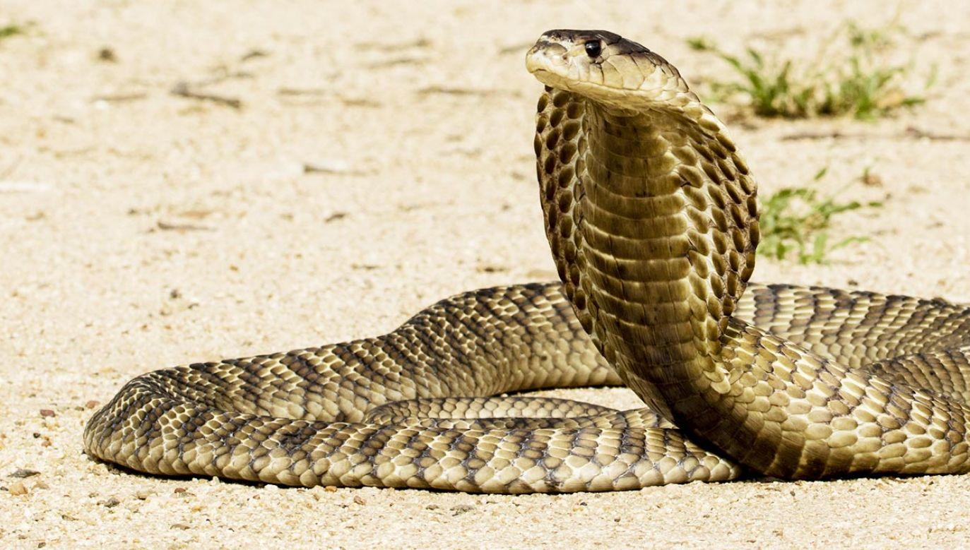 Atak kobry w Indiach (fot. Shutterstock)