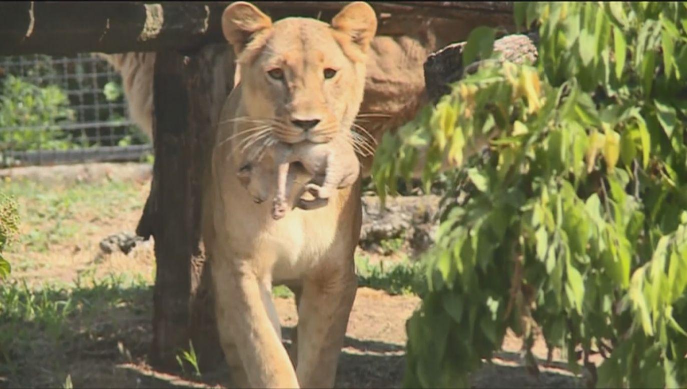 Lwy w serbskim zoo (fot. EBU/ RADIOTELEVIZIJA SRBIJE)