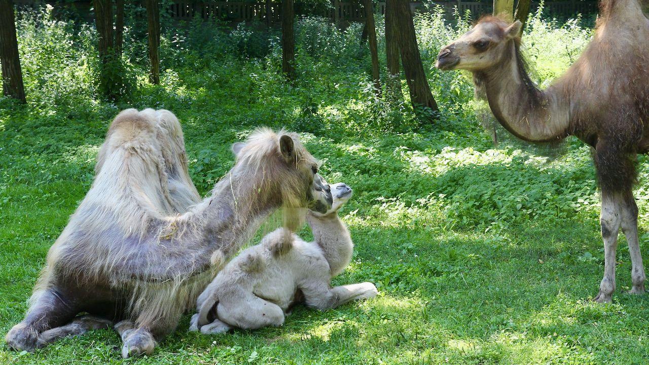 Wielbłąd Maniek jest pod czułą opieką mamy Helgi (fot. FB/Warszawskie ZOO)