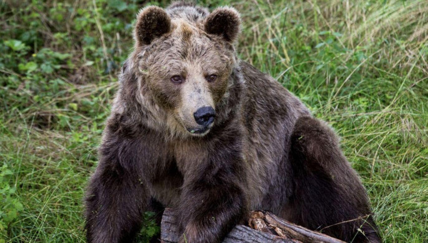 Młody niedźwiedź czarny ważący 96 kg został uznany za zagrożenie dla odwiedzających Park Ekologiczny Chipinque i schwytany przez pracowników federalnej agencji ochrony środowiska PROFEPA (fot. Karol Serewis/SOPA Images/LightRocket via Getty Images, zdjęcie ilustracyjne)