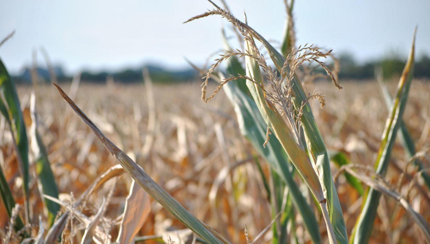 Rolnicy poszkodowani przez suszę otrzymają pomoc rządową (fot. pixabay maxs94)