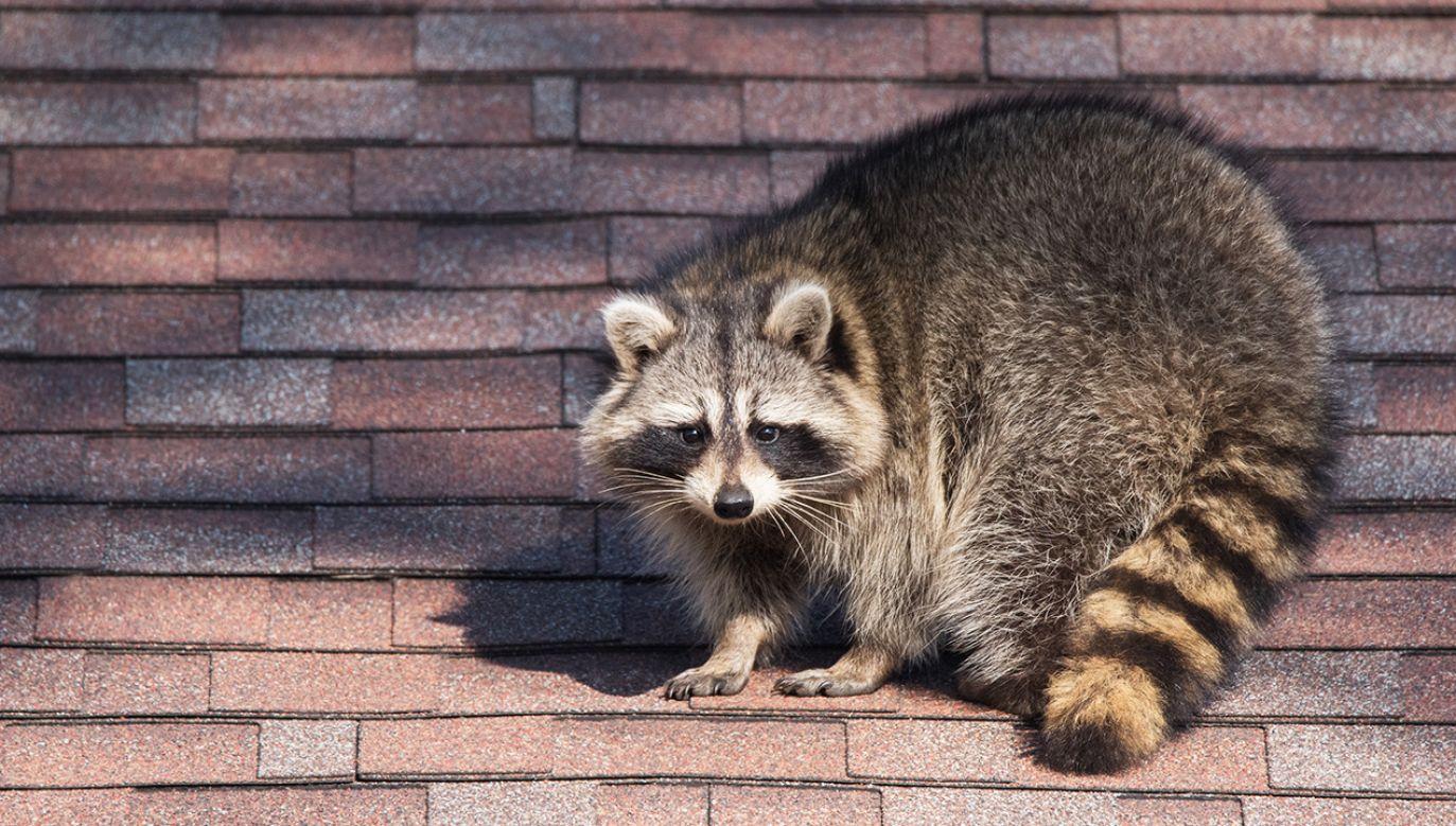 Zwierzę zataczało się i przewracało – informują naoczni świadkowie (fot. Shutterstock/Puffin's Pictures)
