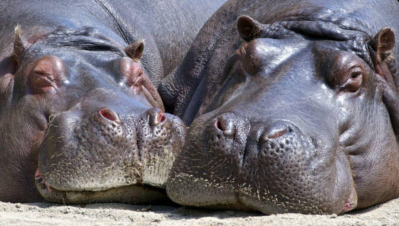 Pozostawione same sobie hipopotamy szybko rozmnożyły się (fot. Pexels)