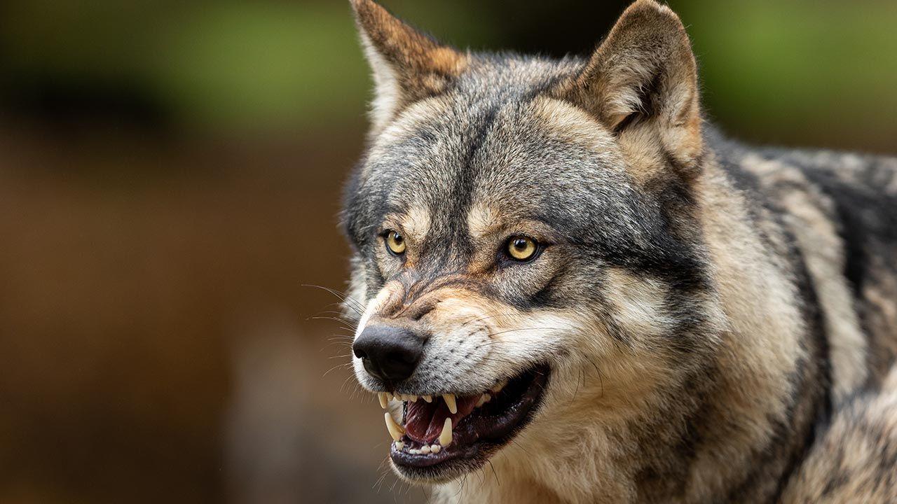 Trzy agresywne wilki zaatakowały dwóch pilarzy (fot. Shutterstock/AB Photographie)