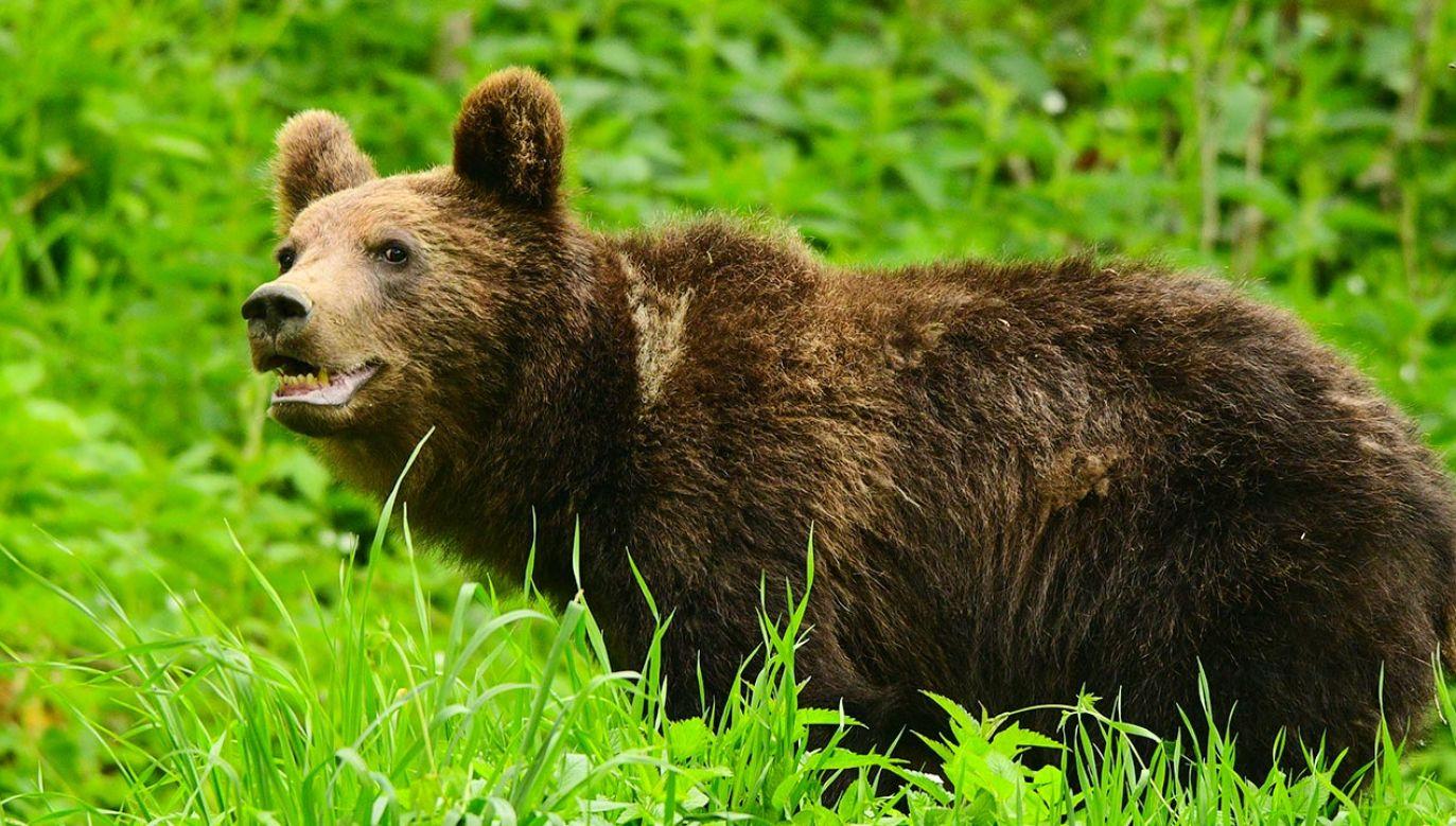 TPN przypomina, jak zachować się w razie spotkania z niedźwiedziem (fot. Shutterstock)
