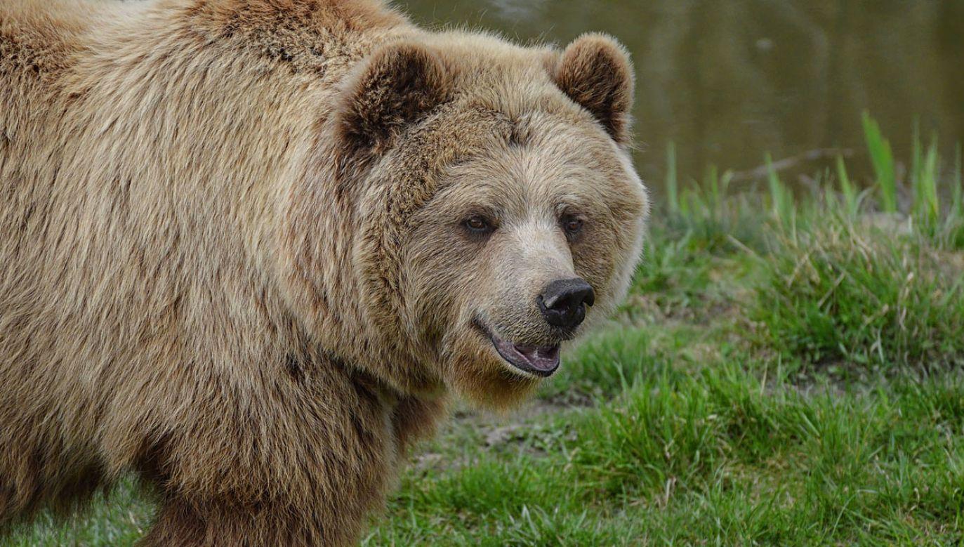 Słoweńskie władze postanowiły niedawno nakazać odstrzał dziesiątków niedźwiedzi i wilków (fot. pixabay/Alexas_Fotos)